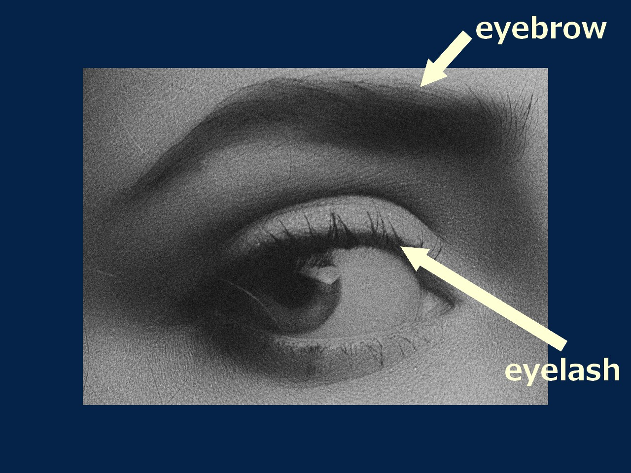 eyebrow / eyelash / eyelid の意味と簡単な区別の仕方